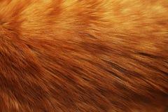 敌意 红色猫头发,特写镜头纹理  库存照片