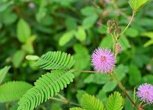 敏感的植物 免版税库存图片
