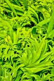 敏感蕨叶状体 图库摄影