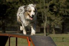 敏捷性竞争狗技能 库存图片