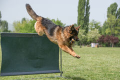 敏捷性竞争的德国牧羊犬,在酒吧跃迁 库存图片