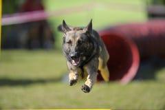 敏捷性竞争的德国牧羊犬 免版税库存照片