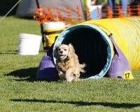 从敏捷性隧道出来的猎犬 免版税图库摄影