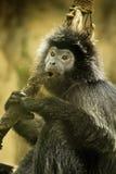 敏捷长臂猿 免版税图库摄影