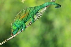 教区牧师变色蜥蜴 免版税库存图片
