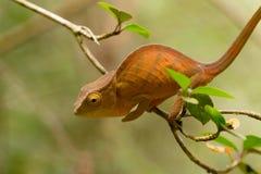 教区牧师` s变色蜥蜴Calumma parsonii 免版税图库摄影