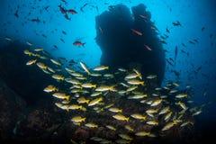 教育在岩石礁石附近的五颜六色的鱼 库存照片