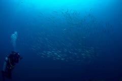 教育梭子鱼剪影 免版税库存图片