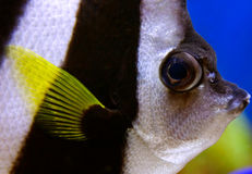 教育bannerfish (Heniochus diphreutes)有时参考a 免版税库存照片