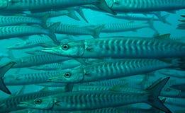 教育blackfin, V形臂章梭子鱼 库存图片