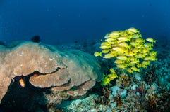教育bluestripe攫夺者Lutjanus kasmira,巨大星珊瑚在Gili,龙目岛,努沙登加拉群岛Barat,印度尼西亚水下的照片 免版税库存图片