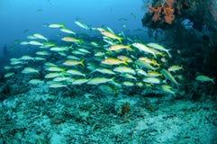 教育fusilier的narrowstripe在Gili,龙目岛,努沙登加拉群岛Barat,印度尼西亚水下的照片游泳 库存图片