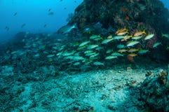 教育fuslier的narrowstripe在Gili,龙目岛,努沙登加拉群岛Barat,印度尼西亚水下的照片游泳 图库摄影