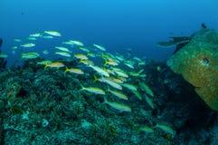 教育narrowstripe fusilier游泳在Gili,龙目岛,努沙登加拉群岛Barat,印度尼西亚水下的照片 库存图片