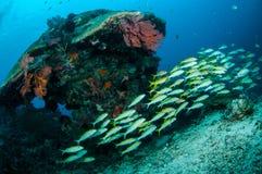 教育narrowstripe fusilier游泳在Gili,龙目岛,努沙登加拉群岛Barat,印度尼西亚水下的照片 图库摄影
