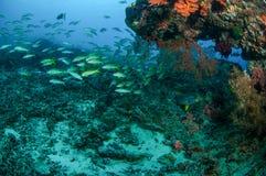 教育narrowstripe fusilier游泳在Gili,龙目岛,努沙登加拉群岛Barat,印度尼西亚水下的照片 库存照片