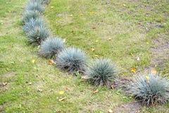 教鞭蓝色& x28; gray& x29;& x28; 丛生草cinerea& x29;在草坪增长 免版税库存图片