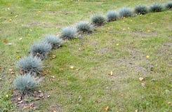 教鞭蓝色& x28; gray& x29;& x28; 丛生草cinerea& x29;在草坪增长 库存照片