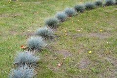 教鞭蓝色& x28; gray& x29;& x28; 丛生草cinerea& x29;在草坪被种植 库存照片
