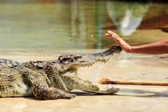 教练员接触的手鳄鱼的鼻子 免版税图库摄影