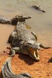 敞开的嘴鳄鱼 免版税库存照片