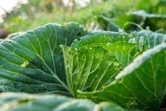 散叶甘兰在房子的庭院被种植,不用使用化学制品 库存照片