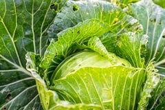 散叶甘兰在房子的庭院被种植,不用使用化学制品 免版税库存图片