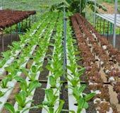 散叶莴苣种植园 免版税库存图片