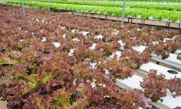 散叶莴苣种植园 免版税图库摄影