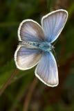 散布的阿格斯蓝色蝴蝶plebejus银 库存照片