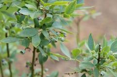 敦巴顿橡树园橡木的蓝莓植物 免版税图库摄影