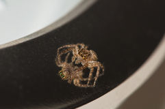 敬佩特写镜头自蜘蛛 库存图片