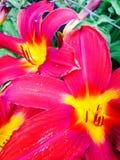 敬畏的桃红色、红色和黄色花 免版税库存照片