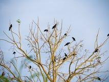 数十只乌鸦人群  图库摄影