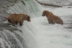 数十头北美灰熊会集在每年三文鱼奔跑,阿拉斯加期间的溪秋天 免版税库存照片