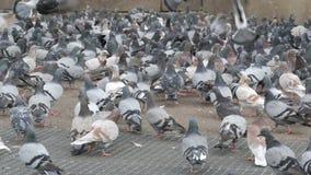 数千在巴塞罗那街道上的不同的城市鸽子  股票视频