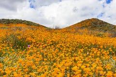 数百万花菱草在步行者峡谷/湖埃尔西诺,加利福尼亚 库存照片