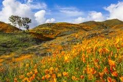 数百万花菱草在步行者峡谷/湖埃尔西诺,加利福尼亚 免版税库存照片