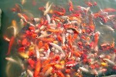 数百五颜六色的Koi在亚洲池塘钓鱼 库存照片