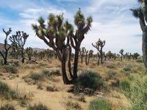 数百在沙漠风景的约书亚树 免版税库存图片