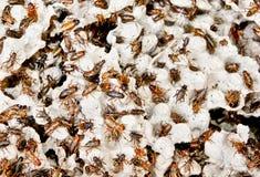 数百棕色蟑螂在他们的栖所 免版税库存图片