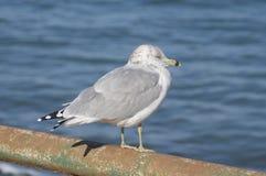 敲响在栏杆栖息的开帐单的海鸥鸥属delawarensis 免版税库存照片