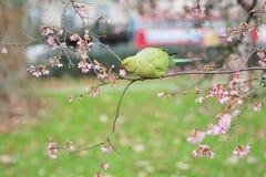 敲响收缩的长尾小鹦鹉,在树的Psittacula krameri 图库摄影