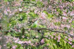 敲响收缩的长尾小鹦鹉,在树的Psittacula krameri 库存图片