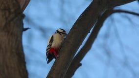 敲在木头的伟大的被察觉的啄木鸟(Dendrocopos少校) 股票录像