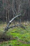 敲打桦树沼泽结构树 库存图片