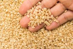 整个短的五谷米种子 有五谷的人在手中 宏指令 免版税库存照片