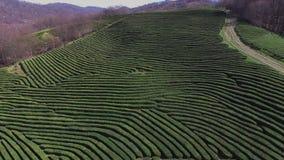 整个茶绿色灌木顶视图,树被种植接近彼此 股票视频