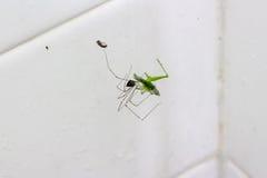 文字蜘蛛使一只巨型蚂蚱震惊在转动以后它 免版税库存照片