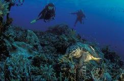 文件名:游泳在与两个潜水者的一块礁石的乌龟在头顶上 图库摄影